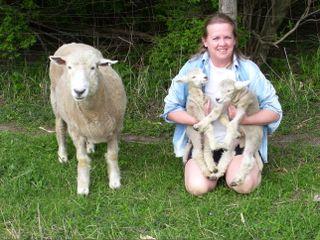 Kim Specht's Romney Ewes